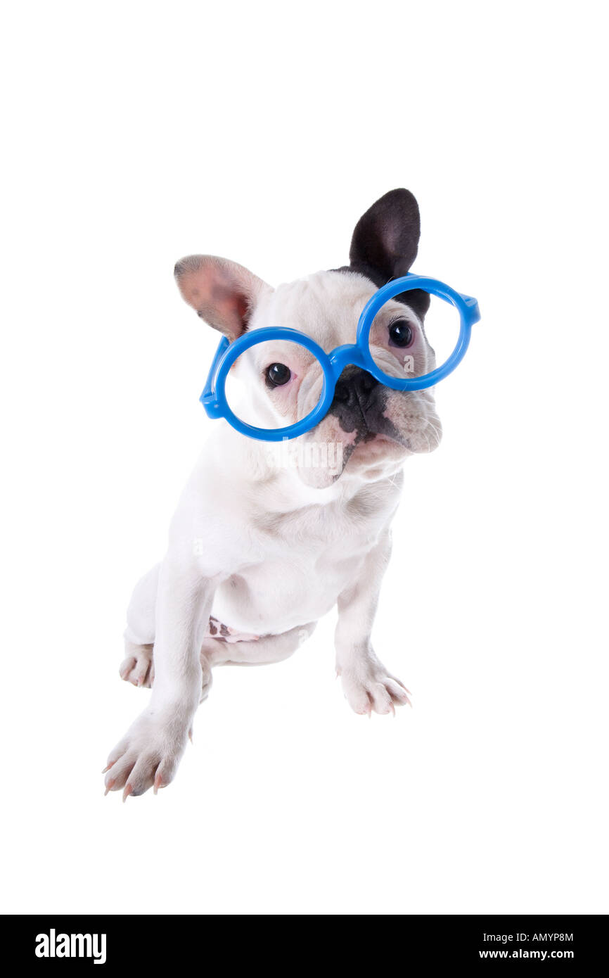 cad25e558506 Black and white nerd French Bulldog puppy wearing big blue glasses isolated  on white - Stock