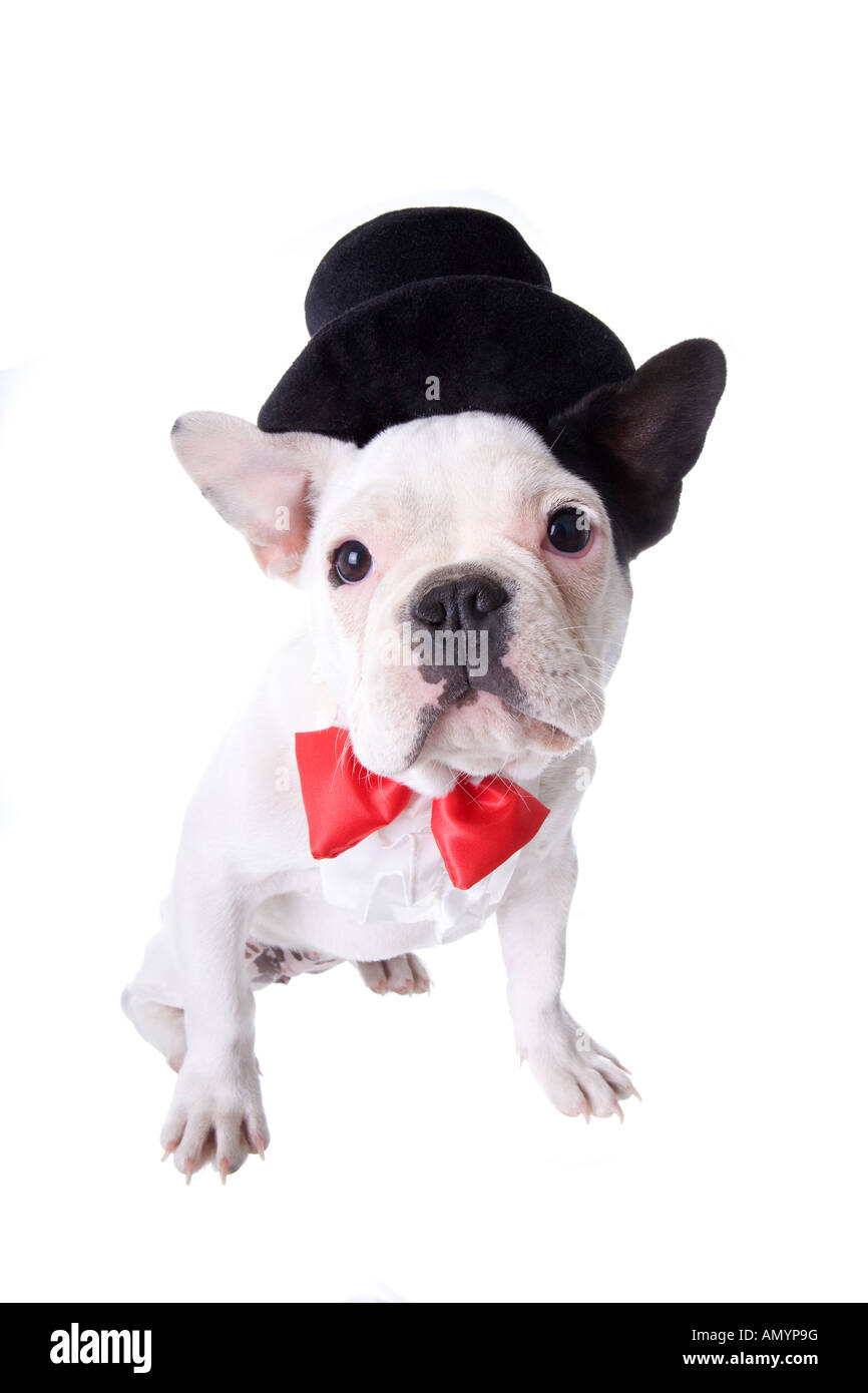 b2ed207ed50 Black and white Formal French Bulldog puppy in top hat and red bow tie  isolated on