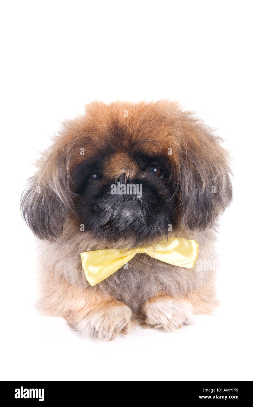 1adf7576d22b Nerd Pekingese dog wearing yellow bow tie with messy hair and funny  expression isolated on white