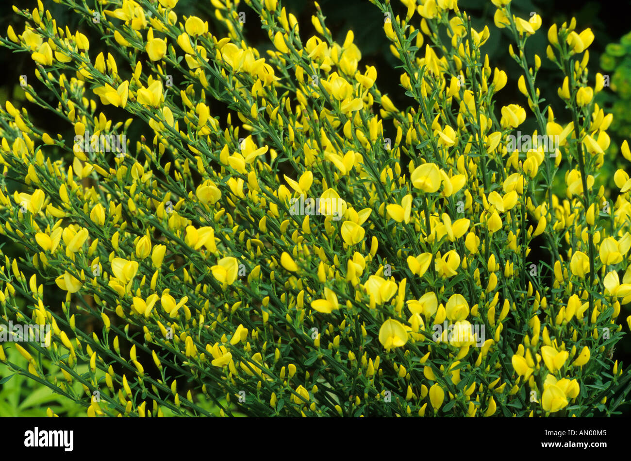 cytisus x praecox allgold broom yellow flowers garden plant rh alamy com