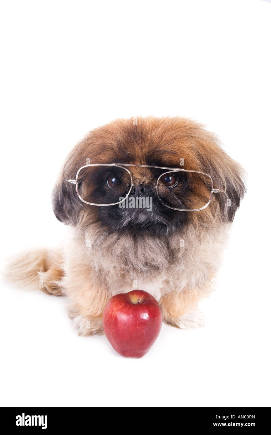 c9da050509ab Student pet Pekingese dog wearing big glasses and an apple for the teacher  isolated on white