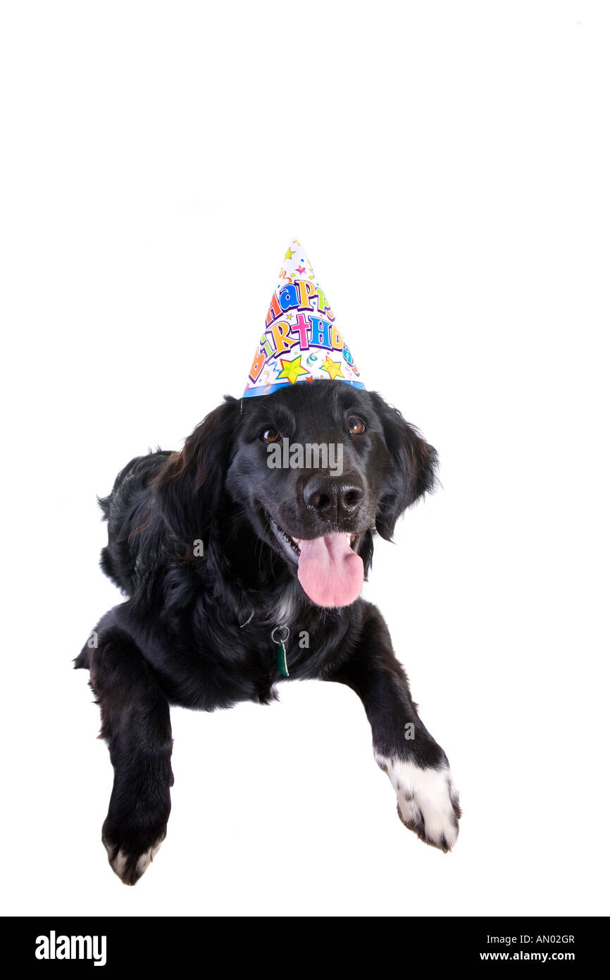 Black And White Dog Wearing Happy Birthday Hat Isolated On Background