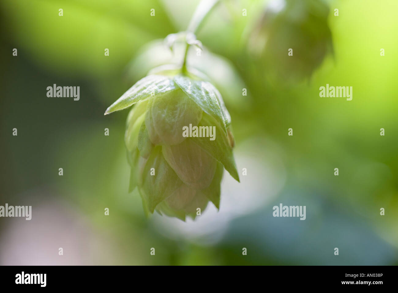 Close up of hop plant - Stock Image