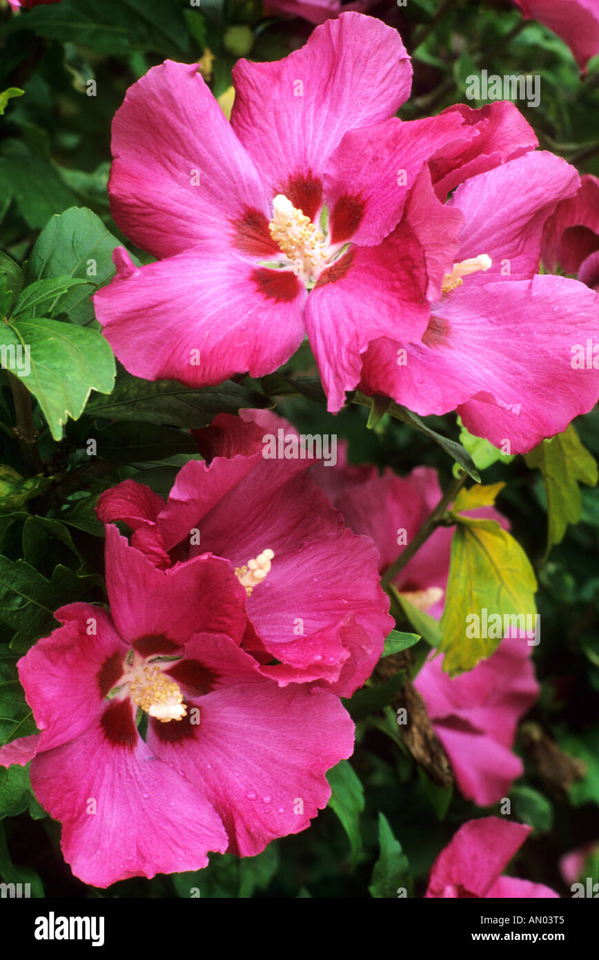 Hibiscus Syriacus Pink Giant Stock Photo 8781508 Alamy