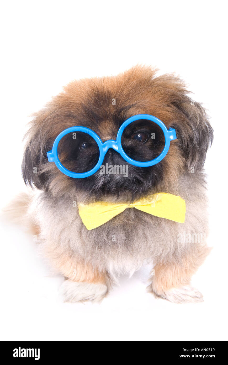 15626e40b532 Brown Pekingese dog dressed as a nerd with big blue glasses and yellow bow  tie isolated