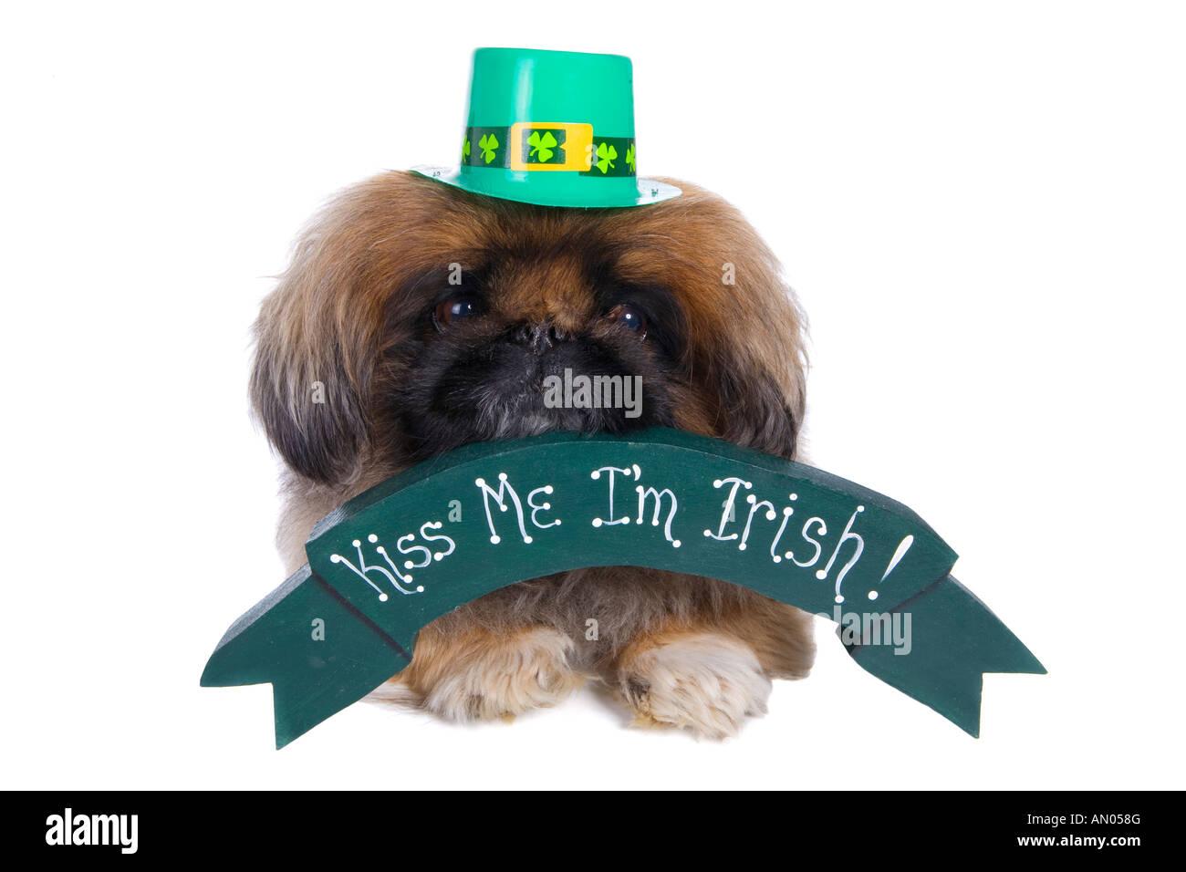 034eb19000b4 Pekingese dog with banner that say s Kiss me I m Irish wearing green hat  isolated