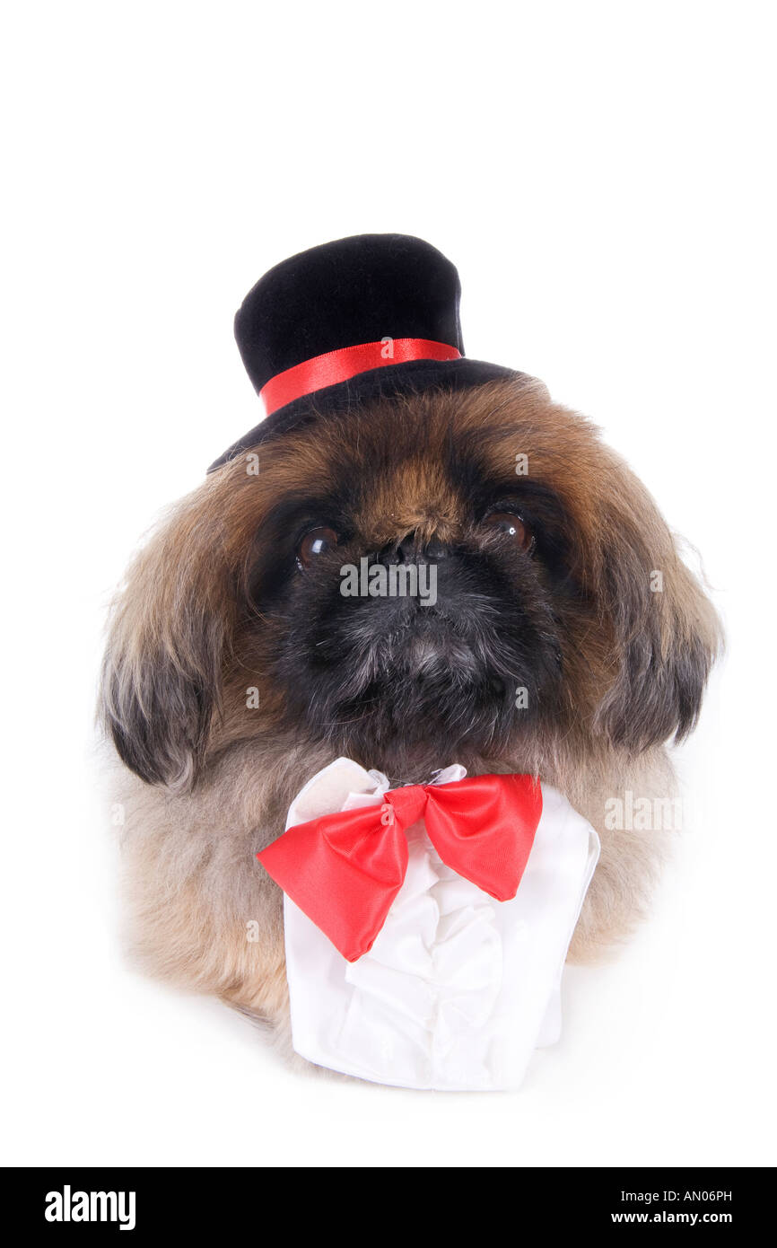 80b9e9615617 High Class Brown Pekingese dog dressed in red bow tie and black top hat  isolated on