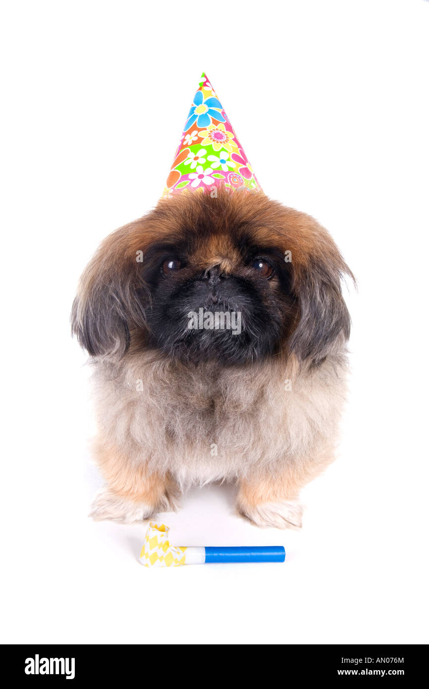 Birthday Brown Pekingese Dog With Noise Maker And Hat Isolated On White