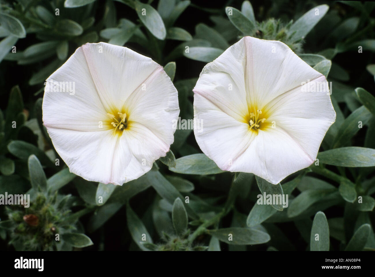 Convolvulus Cneorum Climbing Garden Plant White Flowers May