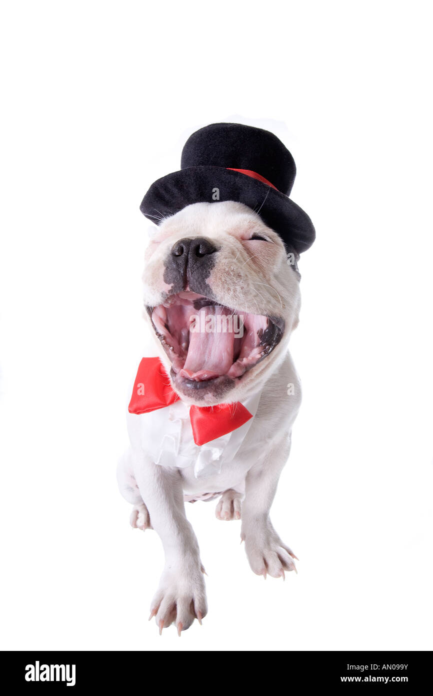 f5975bf5d10 Black and white Formal French Bulldog puppy in top hat and red bow tie with  mouth open isolated on white