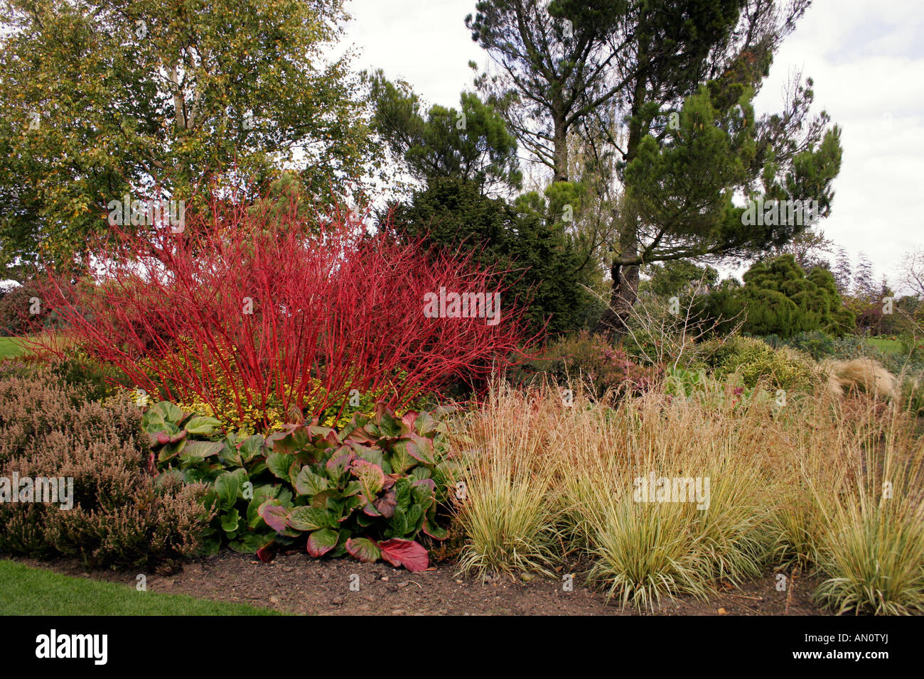 cornus alba sibirica dogwood in autumn stock photo. Black Bedroom Furniture Sets. Home Design Ideas