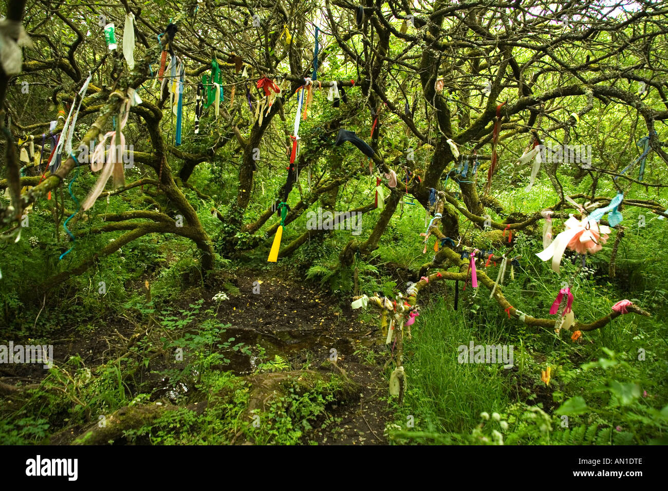 Ancient woodland with clouties used as superstitious healing tokens near St Madrons Madron's Well Cornwall UK GB - Stock Image