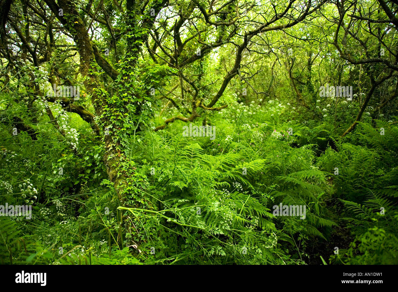 Ancient woodland with ferns mosses lichen near St Madrons Madron's Well and Celtic Chapel West Penwith Cornwall UK England - Stock Image