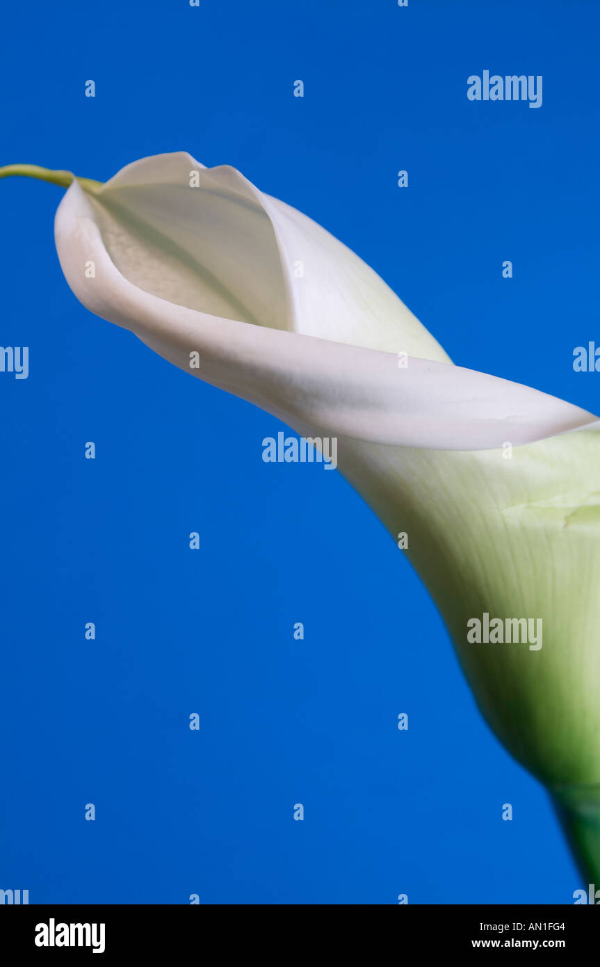 flowers creative Calla Blume - Stock Image