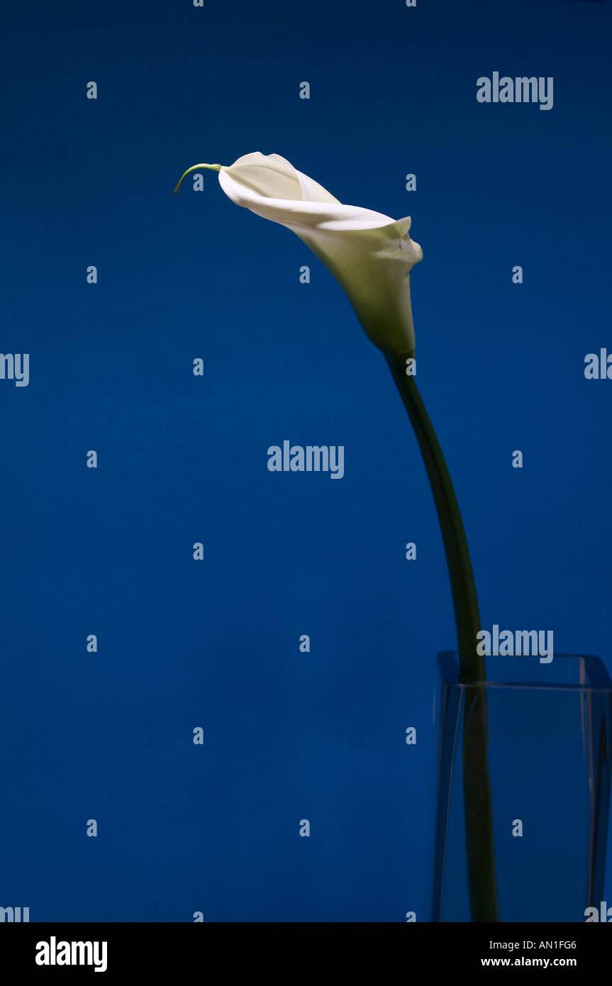 flowers creative Calla - Stock Image