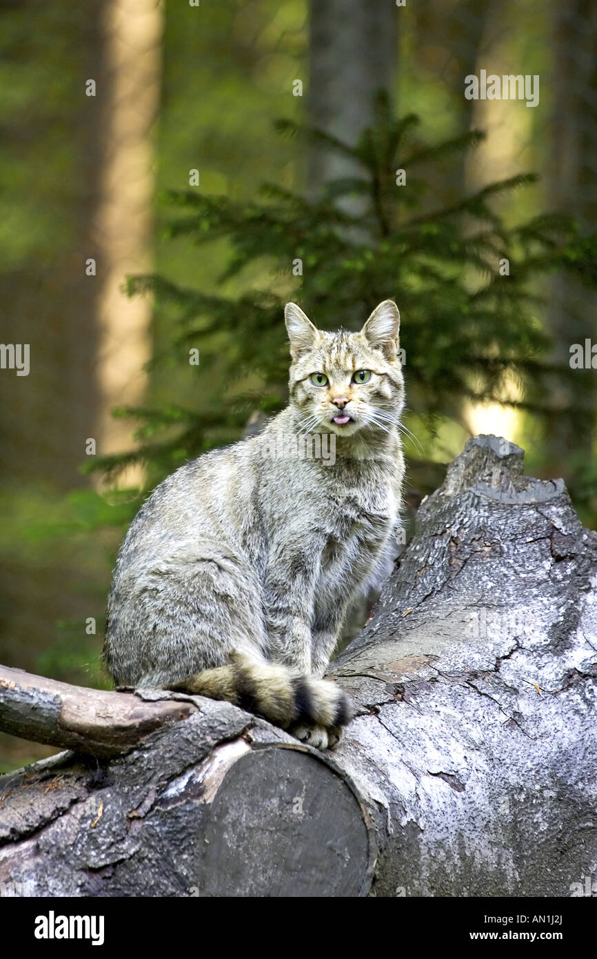 Common Wild Cat European Wild Cat Stock Photo