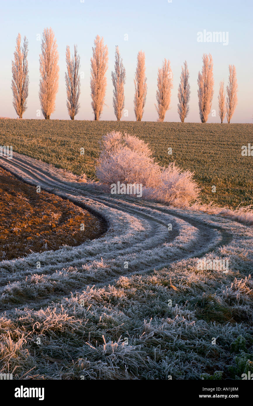Cottonwoods in Hoarfrost, Germany, Winter Stock Photo