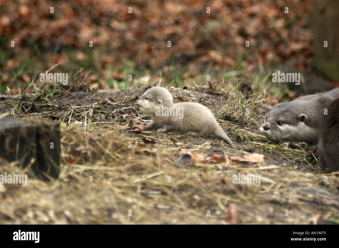Baby otter with mother Asian or Oriental Short Clawed Otter Aonyx cinerea newborn Stock Photo