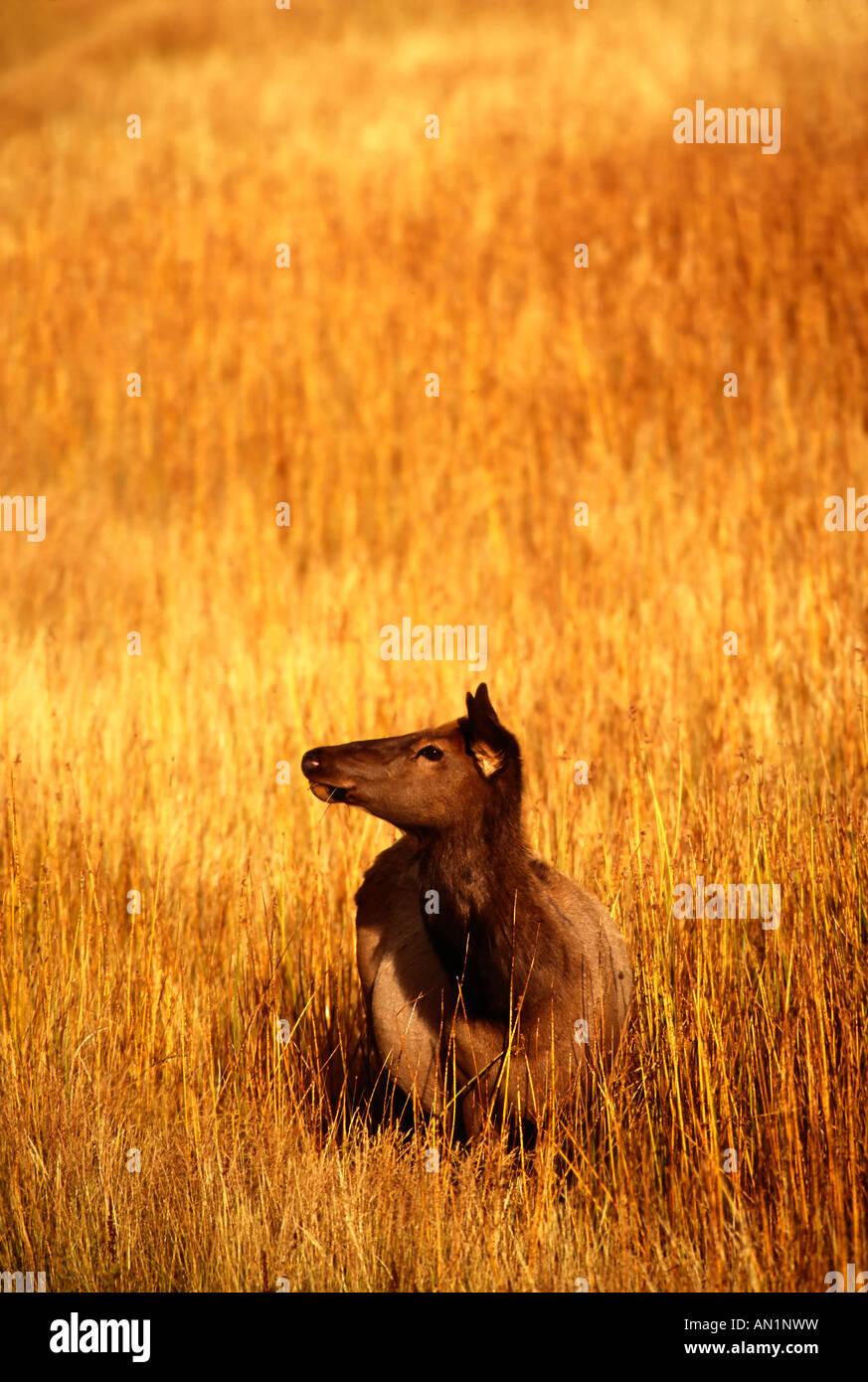 Wapiti Cow Kuh Weibchen Cervus elaphus Yellowstone NP USA Stock Photo