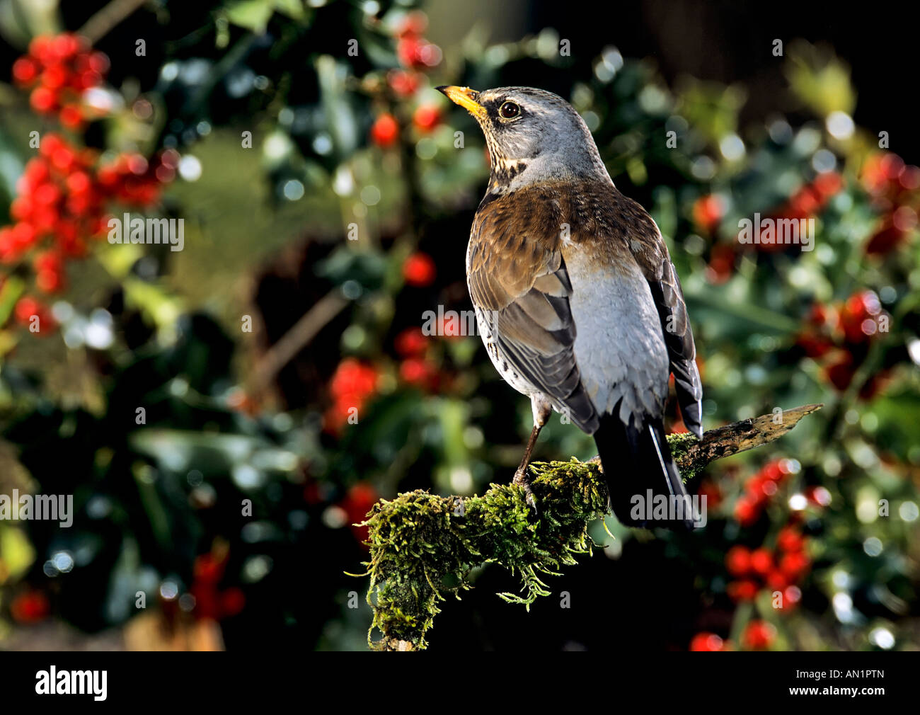 Wacholderdrossel Turdus pilaris European Fieldfare Stock Photo