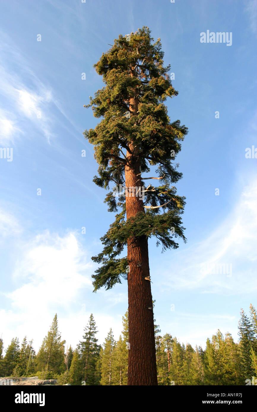 California red fir Californian red fir Abies magnifica USA California - Stock Image