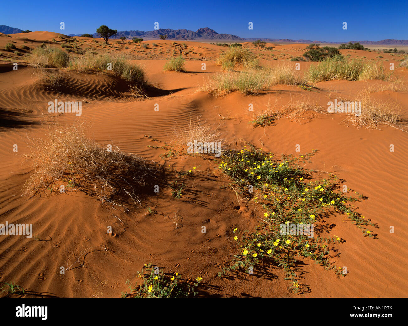 dunes and yellow flowers in desert Namib Rand Nature Reserve Namibia Africa - Stock Image