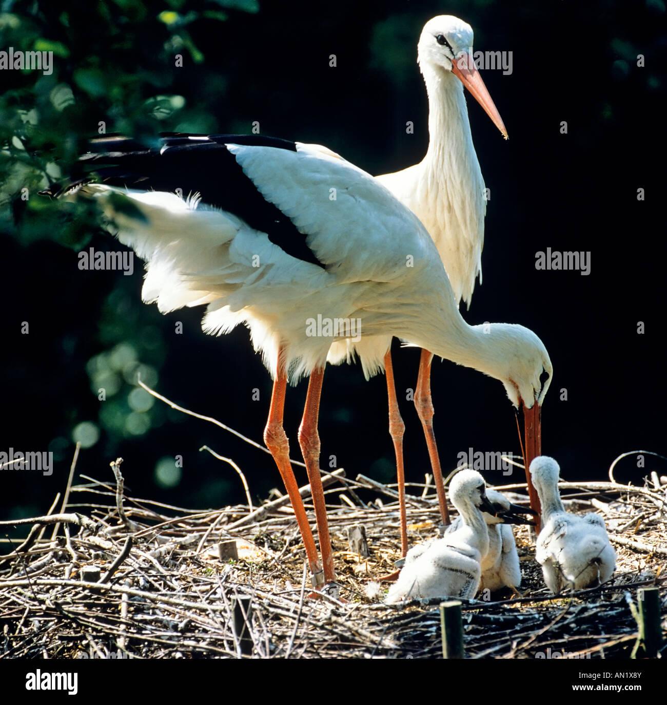 Weissstoerche mit wenige Tage alten Jungen White storks ciconia ciconia at nest Stock Photo