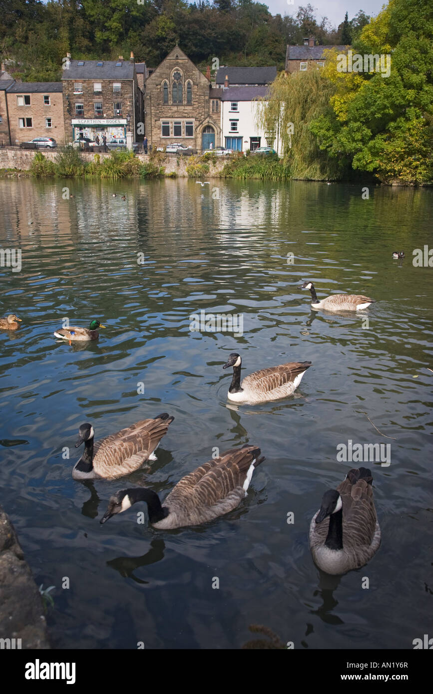 Canada Geese on village pond Cromford Derbyshire in the Peak District - Stock Image