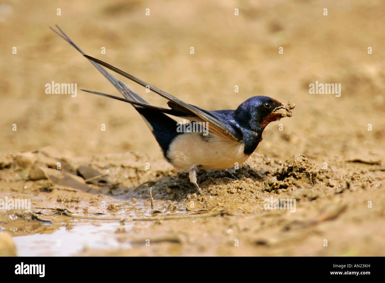 Barn Swallow Hirundo rustica gathering clay at a rain puddle Croatia - Stock Image