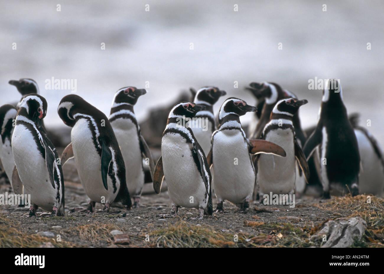 Pinguin Kolonie Magellanpinguine Seno Otway Patagonia Chile Magellanic Penguin Colony Spheniscus magellanicus Stock Photo