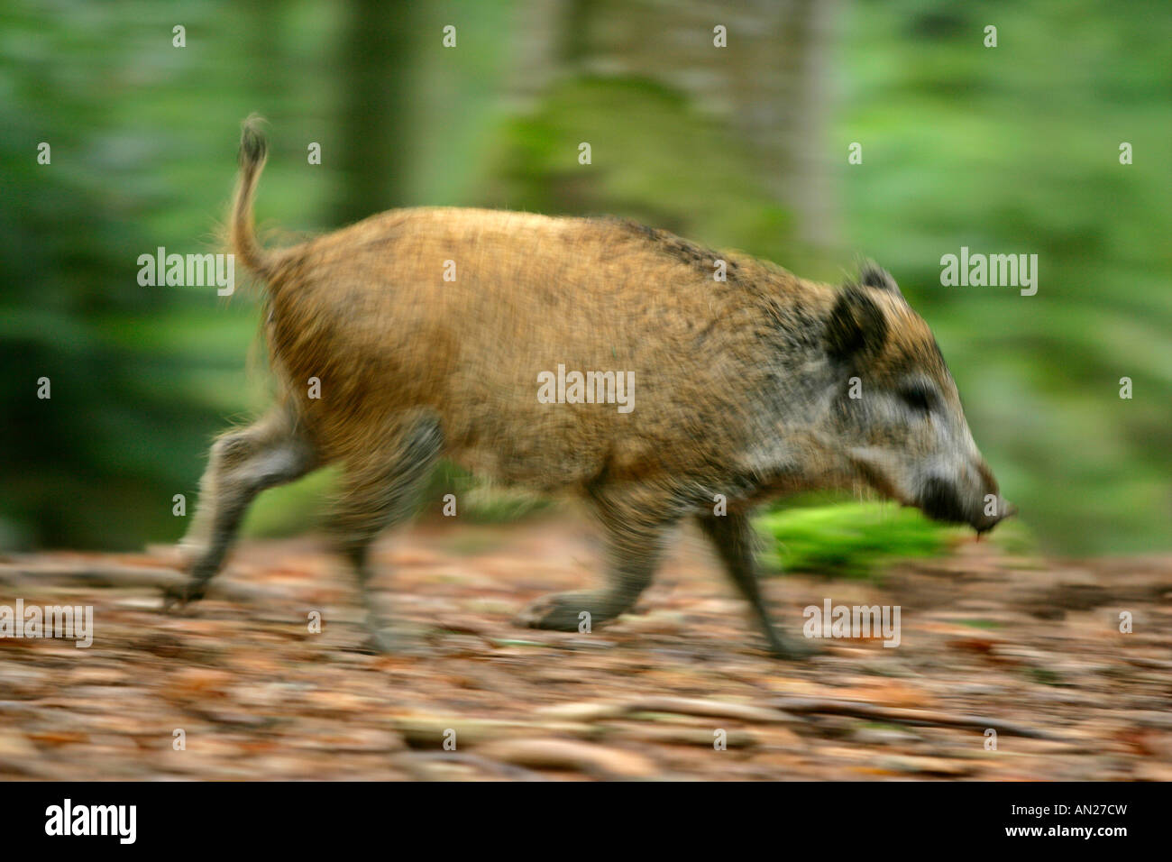 young wild boar sus scrofa running through forest Bavarian Forest National Park Bavaria Germany - Stock Image