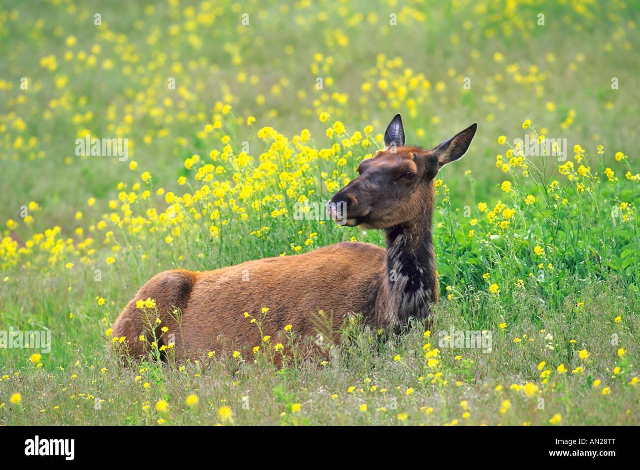 Wapiti Elk Cow in Flowers Kuh Cervus elaphus Yellowstone NP USA Stock Photo