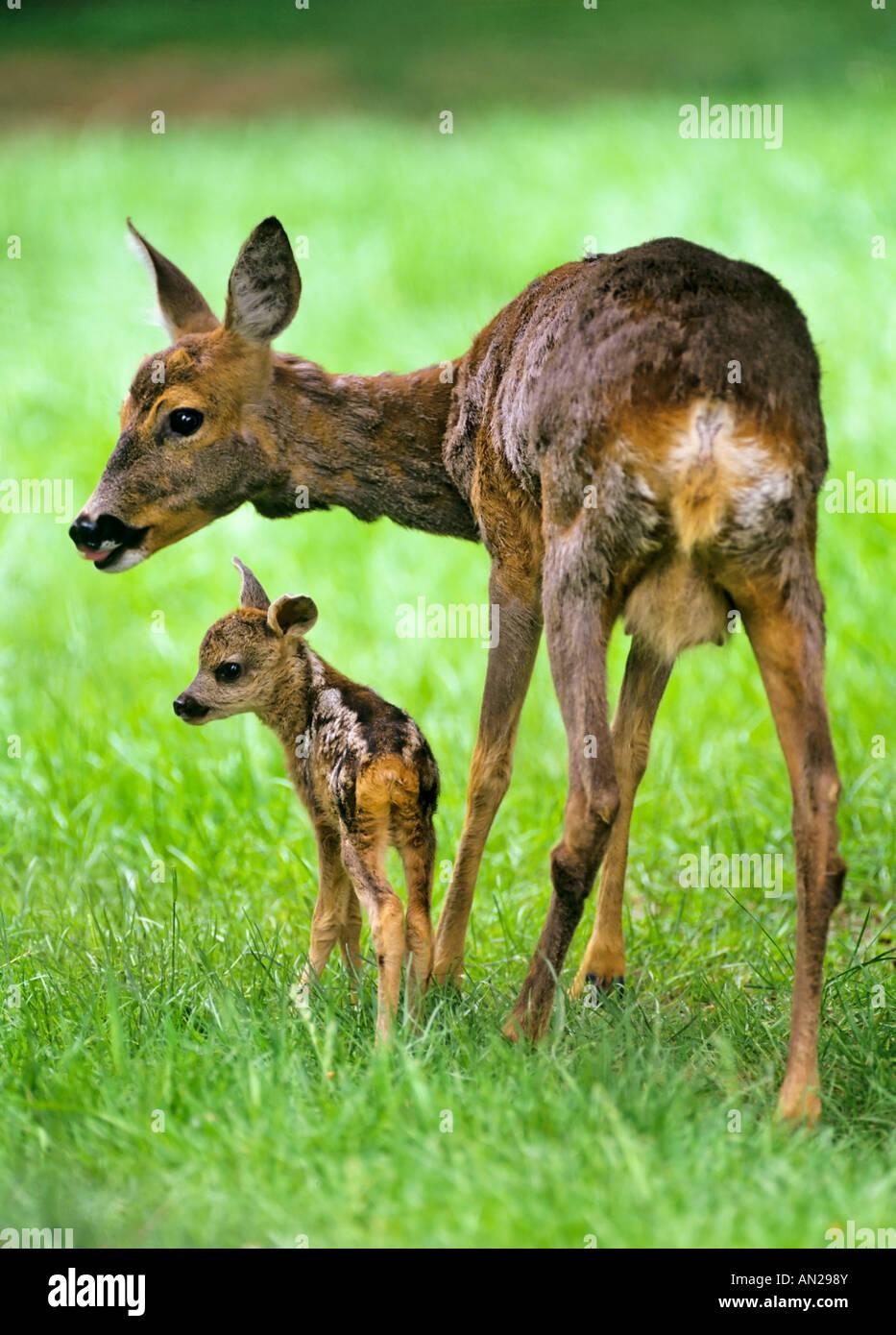 Rehe Ricke mit zwei Tage altem Kitz Capreolus capreolus Roe Deer with fawn - Stock Image