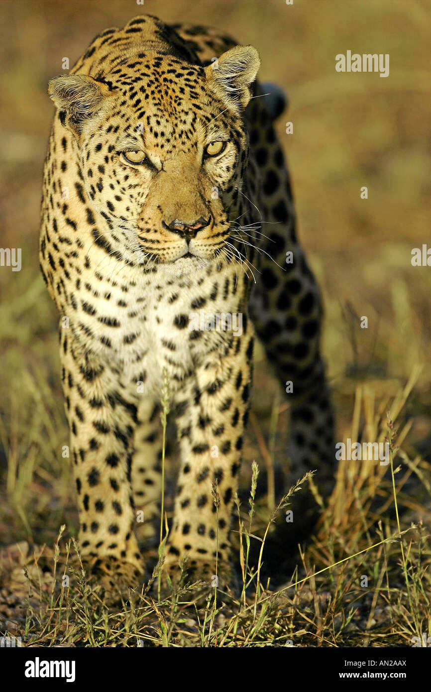male leopard panthera pardus standing in savannah in early morning light Namibia Africa - Stock Image