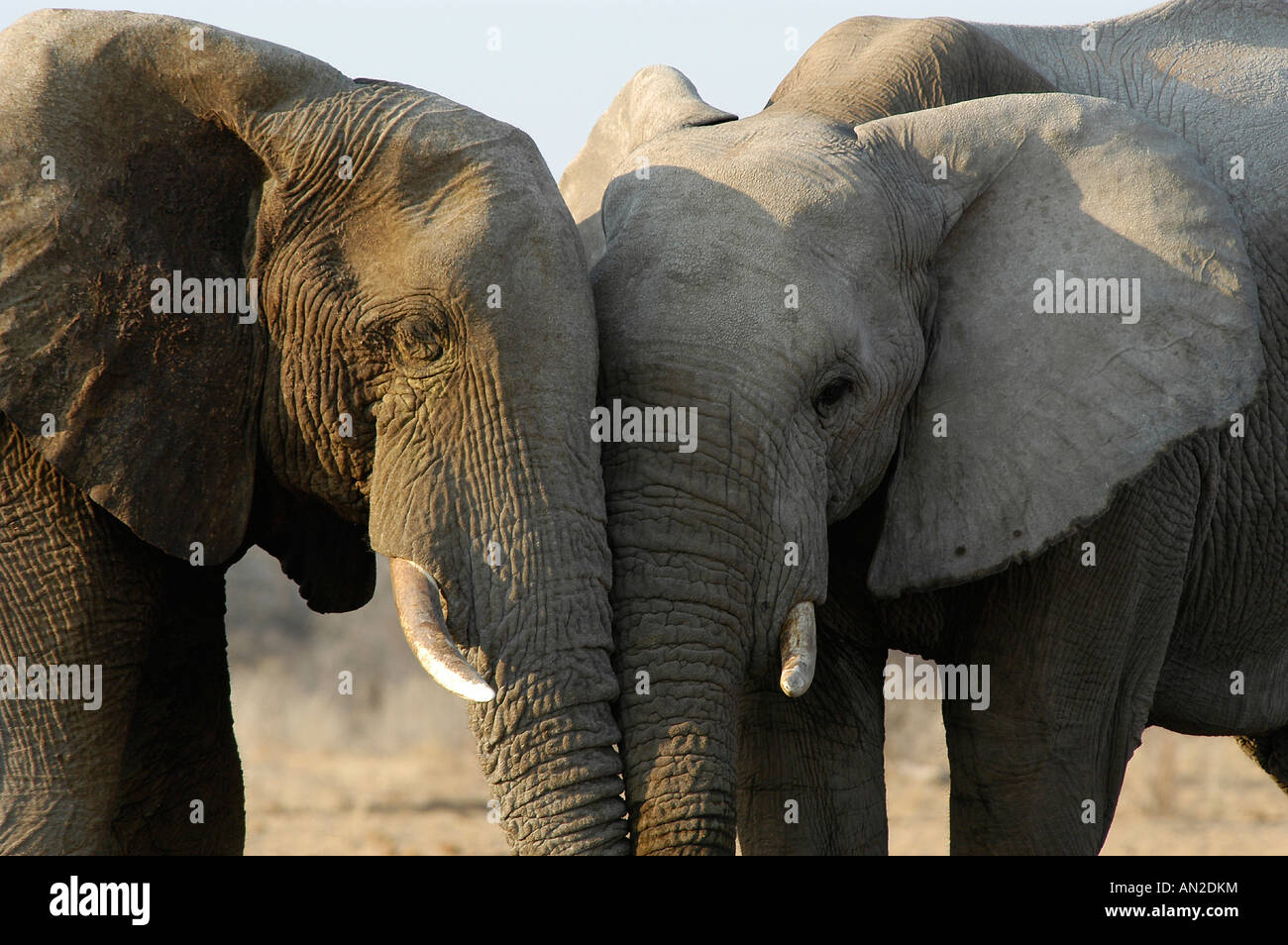 Afrikanische Elefanten african elephants Loxodonta africana - Stock Image