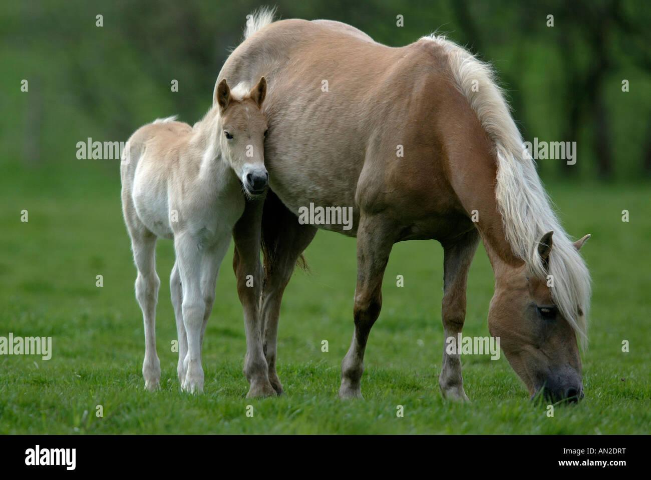 Haflinger Pferd - Stock Image