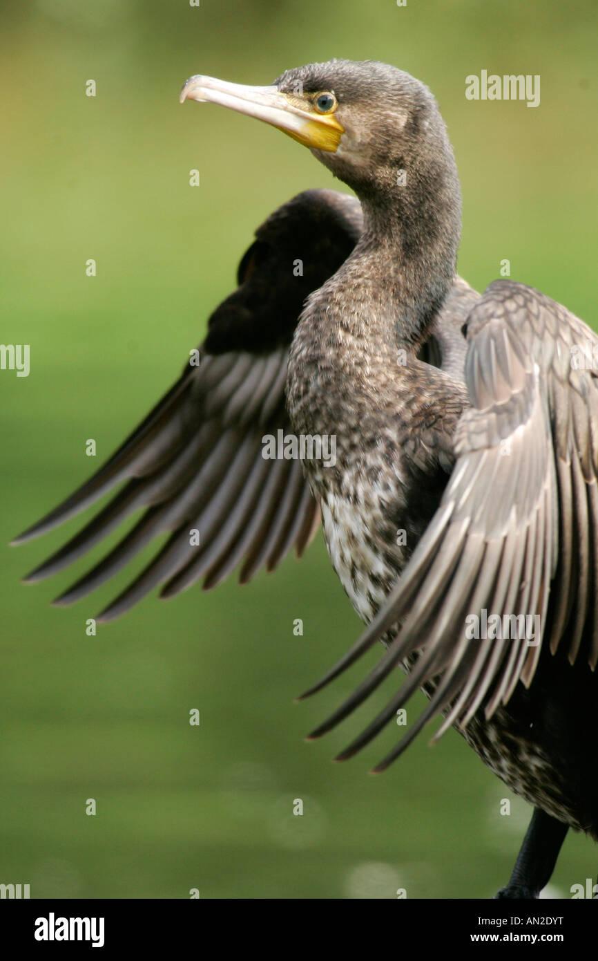 Great Cormorant Kormoran Phalacrocorax carbo Europe Europa - Stock Image