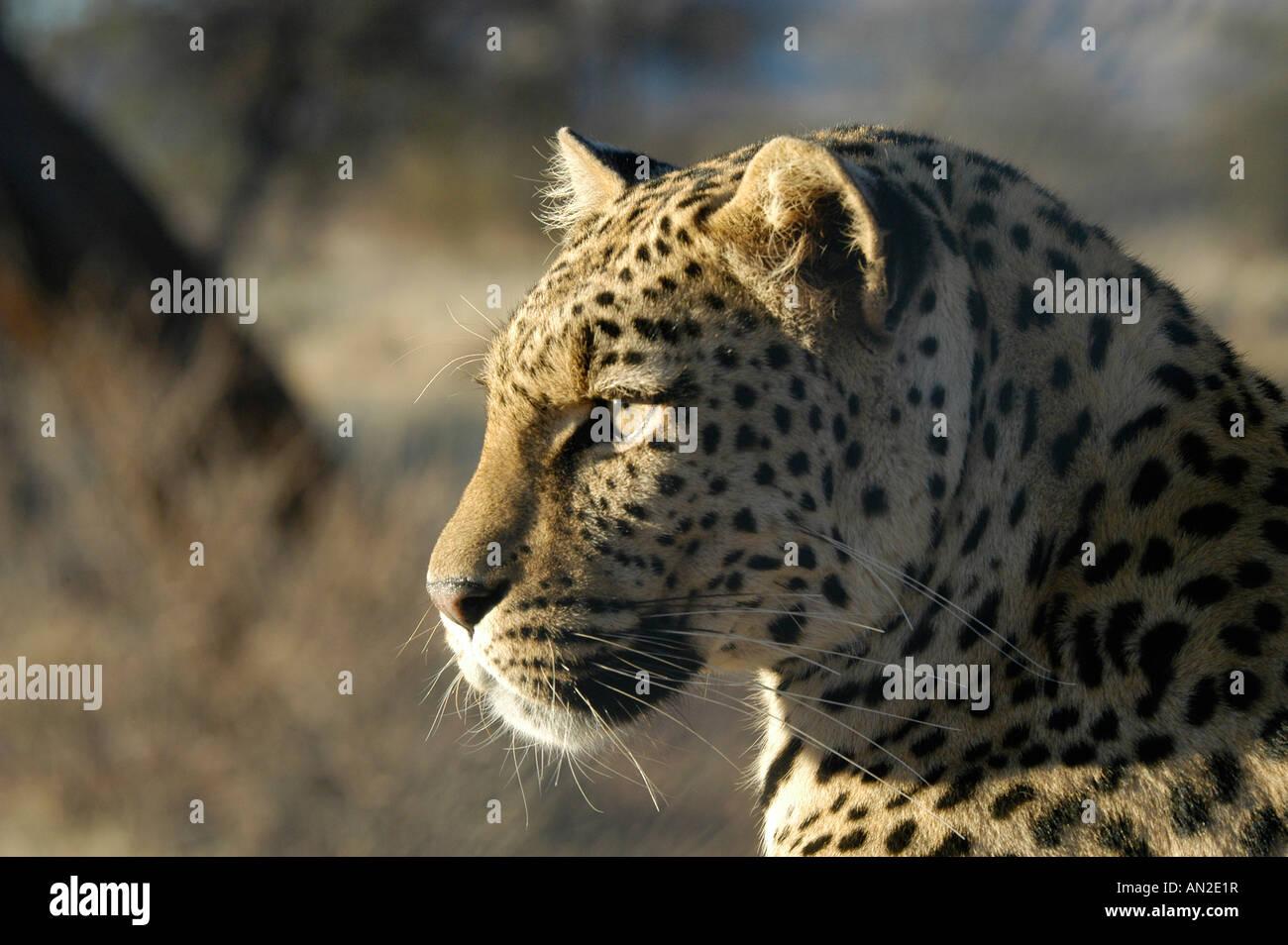 Leopard Panthera pardus Ostafrika East Africa - Stock Image