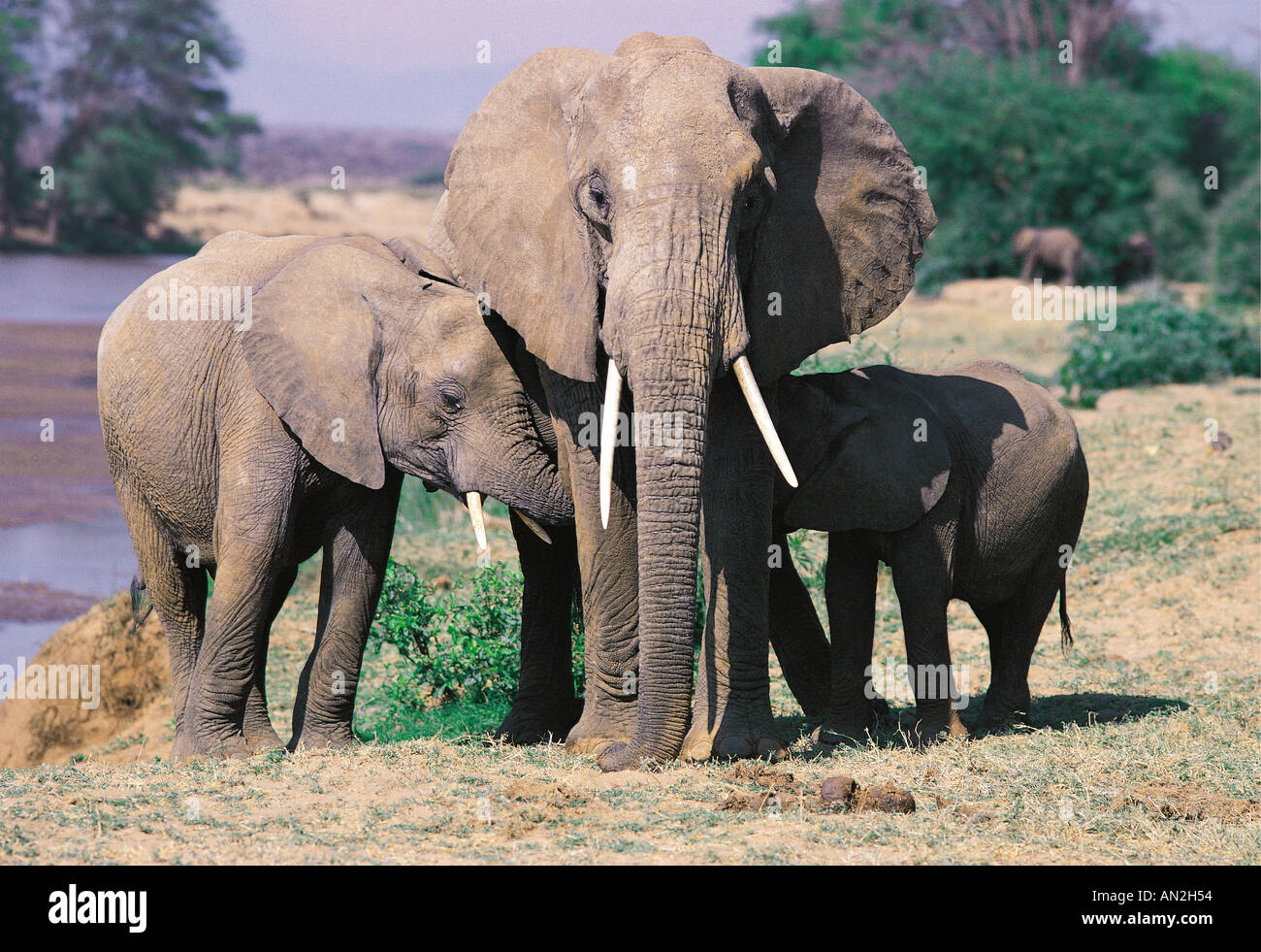 Adult female elephant allowing two babies to suckle one at each side Samburu National Reserve Kenya East Africa Stock Photo