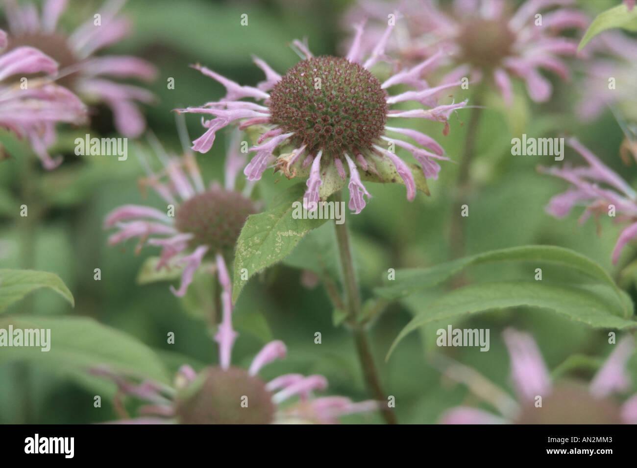 bee balm, oswego tea (Monarda didyma), inflorescences - Stock Image