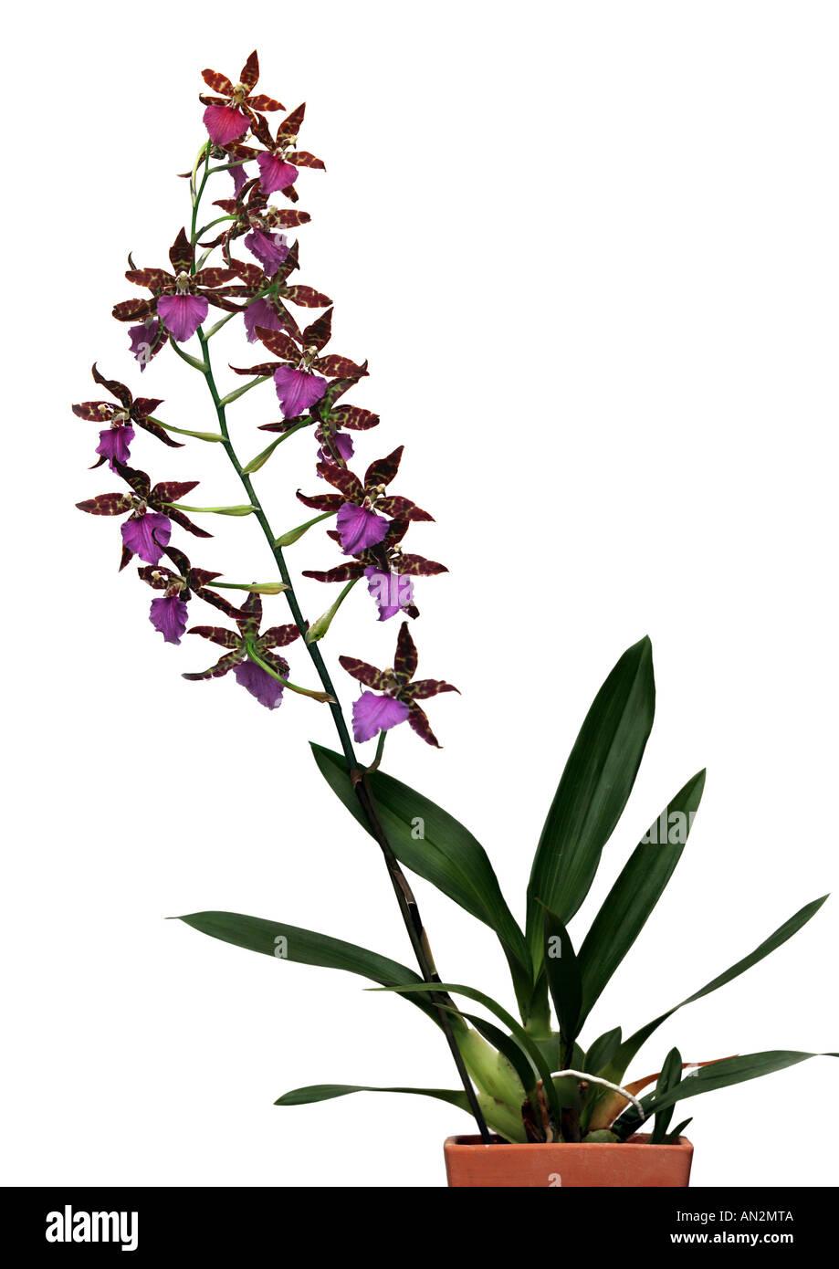 Odontoglossum hybrid (Odontoglossum-Hybride), blooming - Stock Image