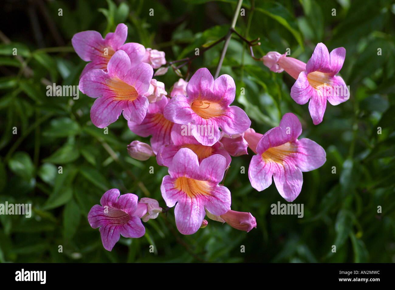 Pink trumpet vine stock photos pink trumpet vine stock images alamy podranea pink trumpet vine bignone rose podranea ricasoliana flowers stock mightylinksfo