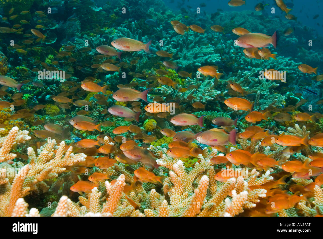 Scalefin anthiases Pseudanthias squamipinnis feeding with planktons brought by strong currents Komodo National Park - Stock Image