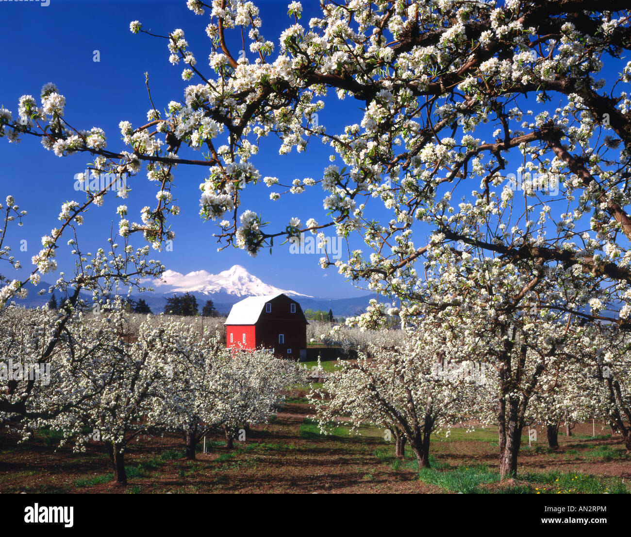 USA, Oregon, Hood River Valley, Pear orchard in bloom framing red ...