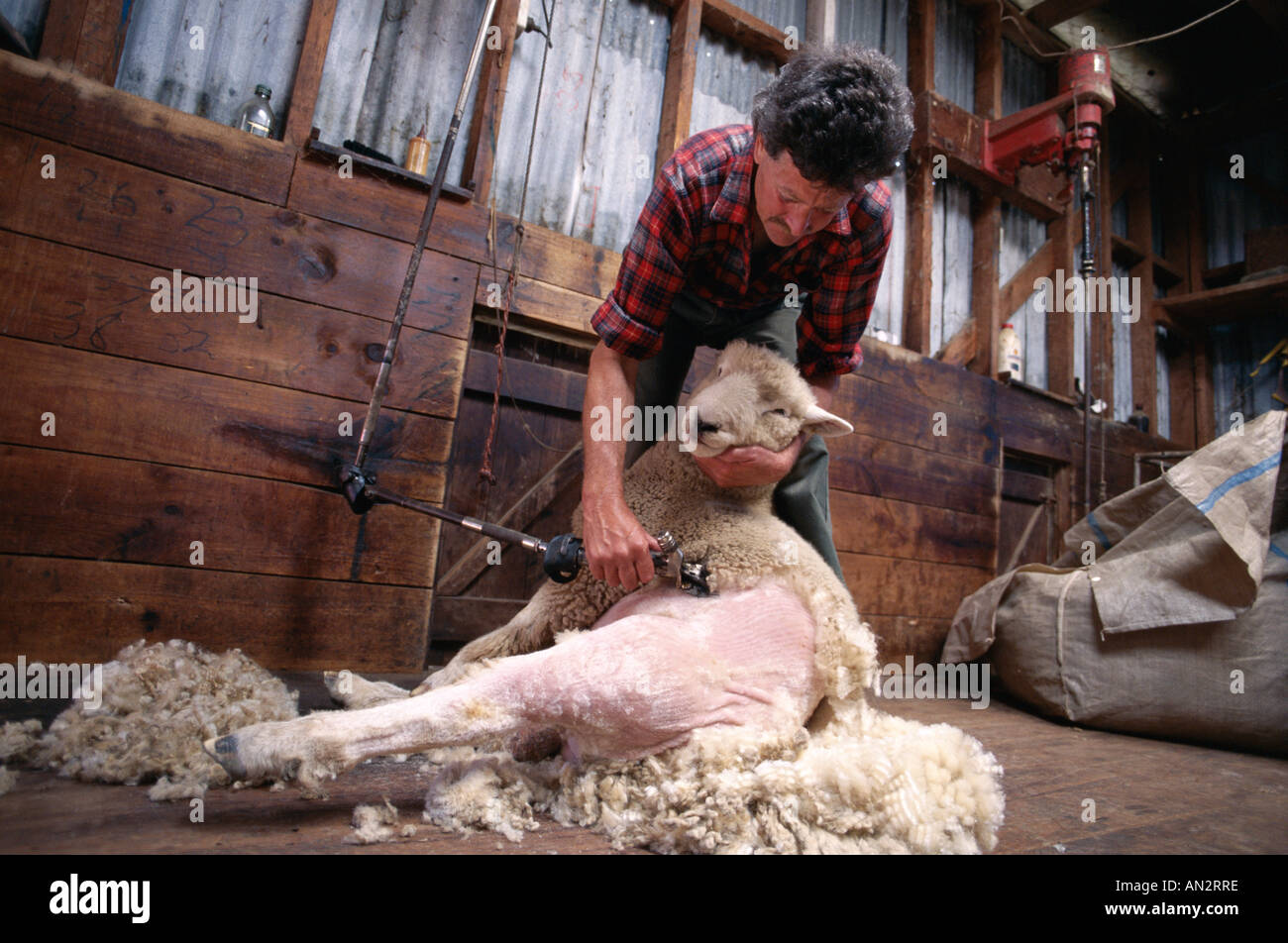 Farmer Sheep Shearing North Island New Zealand Stock Photo