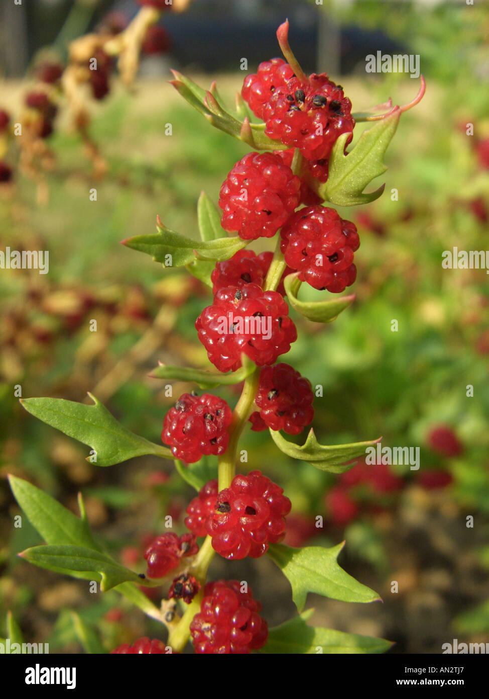 Strawberry Sticks, Leafy Goosefoot (Chenopodium foliosum), ripe fruits - Stock Image