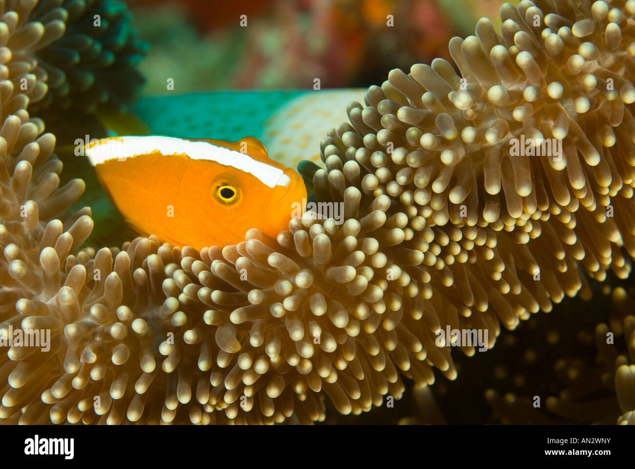 Orange anemonefishes Amphiprion sandaracinos in a Merten s sea anemone Komodo National Park Indonesia - Stock Image