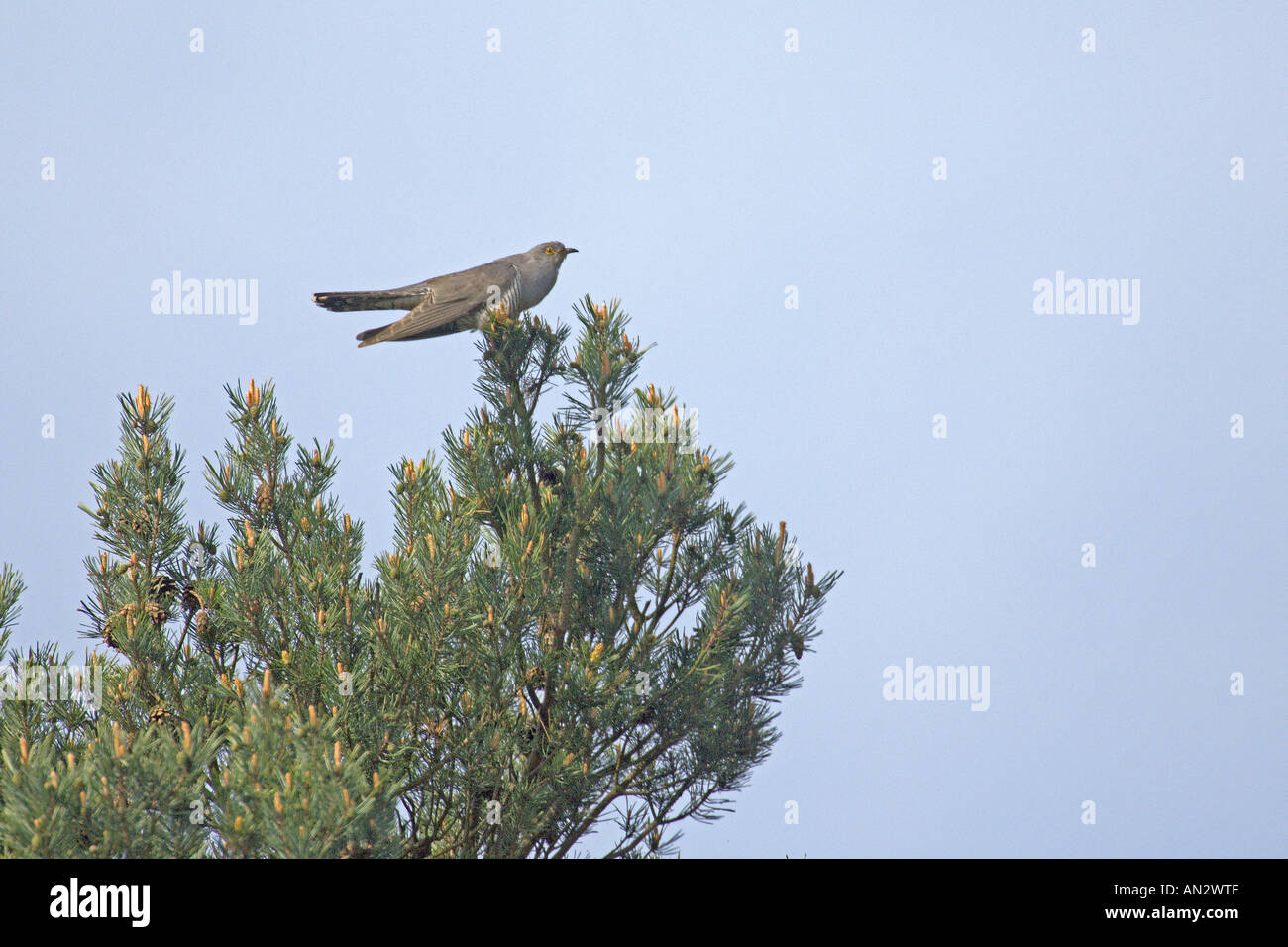 Common cuckoo Cuculus canorus adult male singing from top of Scots pine Surrey England May - Stock Image