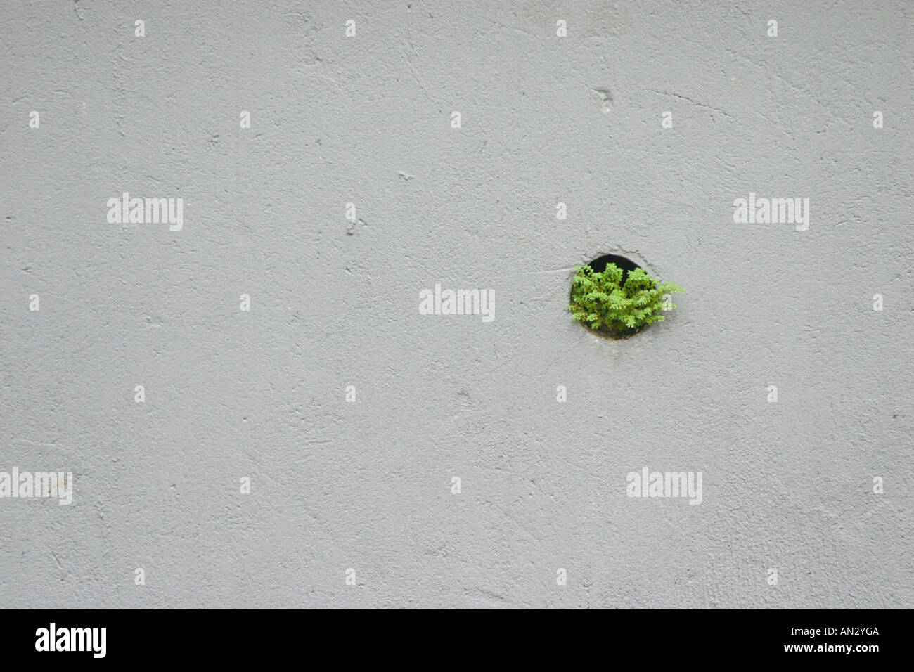 plant growing in drainage hole of a wall. Concept of survival in tough conditions Stock Photo