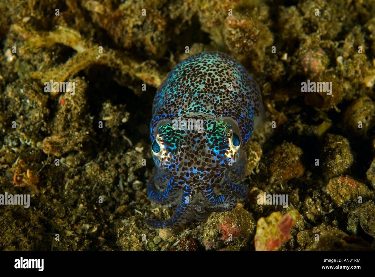 Bobtail squid Euprymna berryi Komodo National Park Indonesia - Stock Image